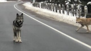 Coywolf acts as responsible crossing guard