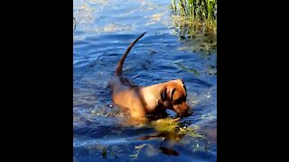 Mister Brown The Rhodesian Ridgeback; loves retrieving and the water