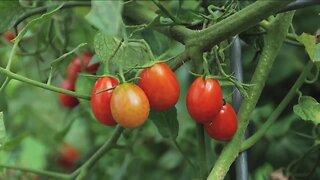 Melinda Myers Growing Tomatoes