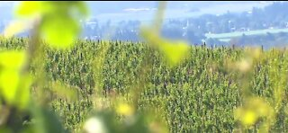 Wine makers affected by drought