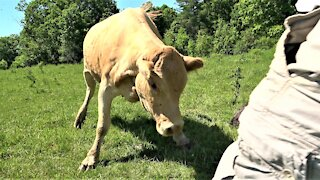 Mother cow charges man to defend her newborn calf