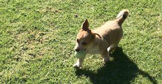 Corgi Puppy Learns How to Play Fetch - Cute Dog FAIL