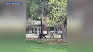 Bear spotted running around downtown Boulder