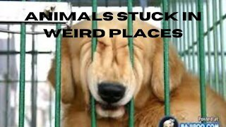 Animals getting stuck in weird places