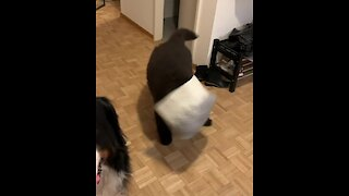 Goofy Newfoundland puppy gets head stuck in basket