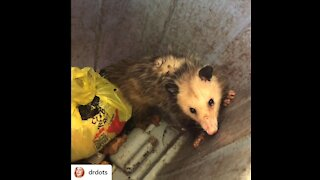 Possum refuses to leave my trash can