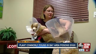 Two dogs at veterinary ER after eating popular but poisonous Florida plant