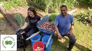 Potato Harvest!!