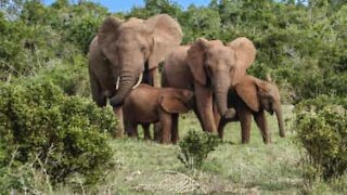 Family of elephants drinks guests' pool water