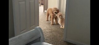Puppy Love - Mini Goldendoodles