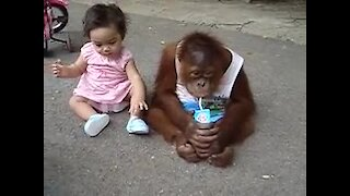 Watch An Adorable Toddler Try To Steal This Baby Orangutan's Milk