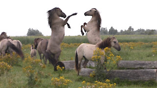 Wild horses: Stallions fight to keep their bands intact