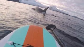 Paddleboarder gets up close with a group of orcas in Norway!