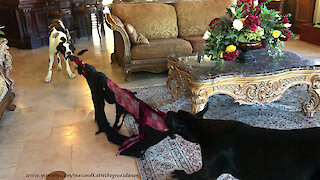 Great Danes Have Fun With Their Self Destructing Blanket