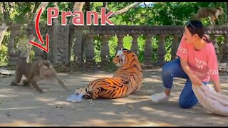 Pranking a Monkey with a Fake Tiger