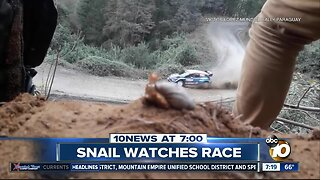 Snail captivated by car race?