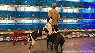 Goofy Great Dane Puppy Isn't Too Sure About Fish