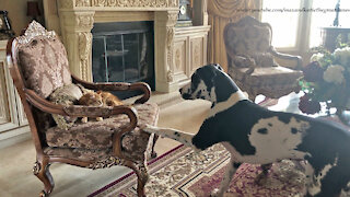 Angry kitty reminds Great Dane that cats rule and dogs drool