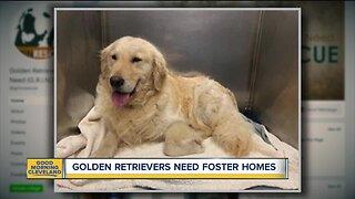 Golden Retrievers need foster homes