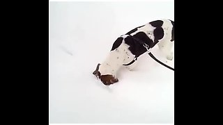Winter-loving dog keeps sticking head in the snow