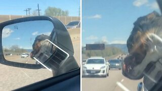 Adorable Pooch Falls Asleep With Head Handing Out Of Car Window