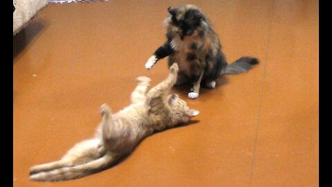 Training cat fight