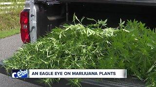 Wayne County flyovers target illegal marijuana plants