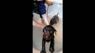 1st Bath time for chocolate lab puppies