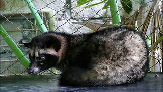Where does Luwak Coffee come from?