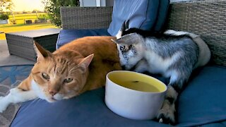 Goat with disability has very cuddly friendship with rescued cat