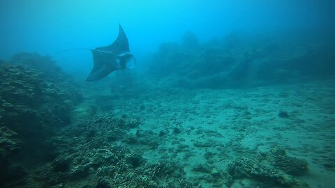 Diving with manta ray off the coast of Maui