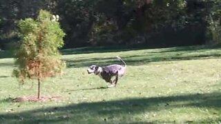 Kömpelö tanskandoggi putoaa vahingossa järveen!