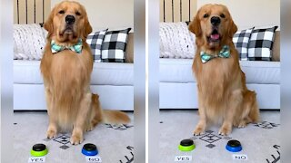"""Golden Retriever answers questions with """"yes"""" & """"no"""" buttons"""