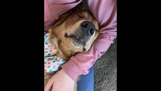 Golden Retriever adorably falls asleep in owner's lap