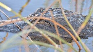 8-Foot Alligator Found In Florida Elementary School