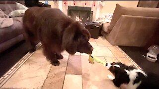 Cavalier puppy earns underdog win against huge Newfoundland