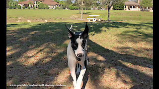 Hilarious Harlequin Great Dane Leaps and Bounds in Slow Motion