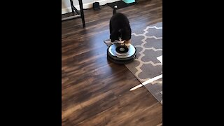 Bernese puppy's first ever encounter with robot vacuum