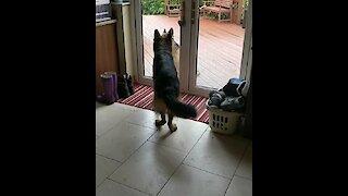 German Shepherd begs owner to let his best friend inside
