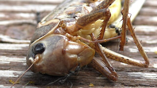 Time lapse captures grasshopper dissection by ants & wasps