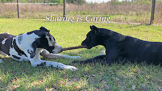 Happy Great Danes Chew The Same Stick ~ Sharing is Caring