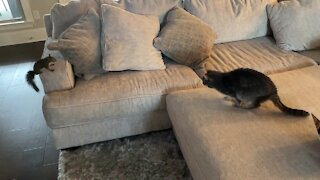 Pet squirrel plays with kitty cat best friend