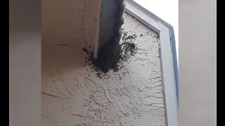 Bees causing problems at east Las Vegas apartment complex