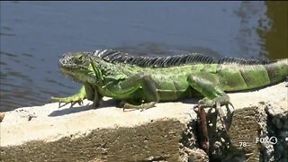 City of Sanibel cutting green iguana trapping services