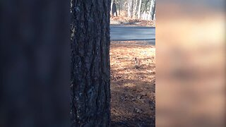 Tiny Dog does his Best to Climb a Tree