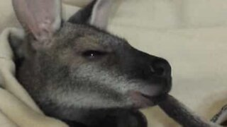 Adorable wallaby sucks its tail to fall asleep!