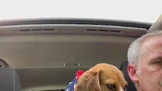 Adorable Beagle cools off on a hot day with a popsicle