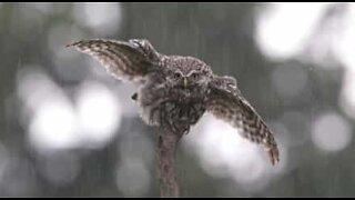 Ugle elsker å være i regnet