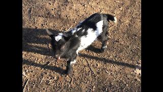 Hilarious baby goat!
