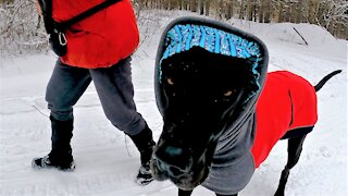 Great Dane puppy wears comical bonnet for frigid forest treks